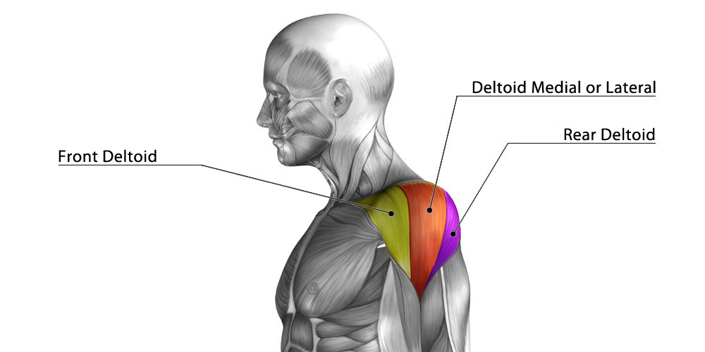 Anatomy of the deltoid muscle in the shoulder