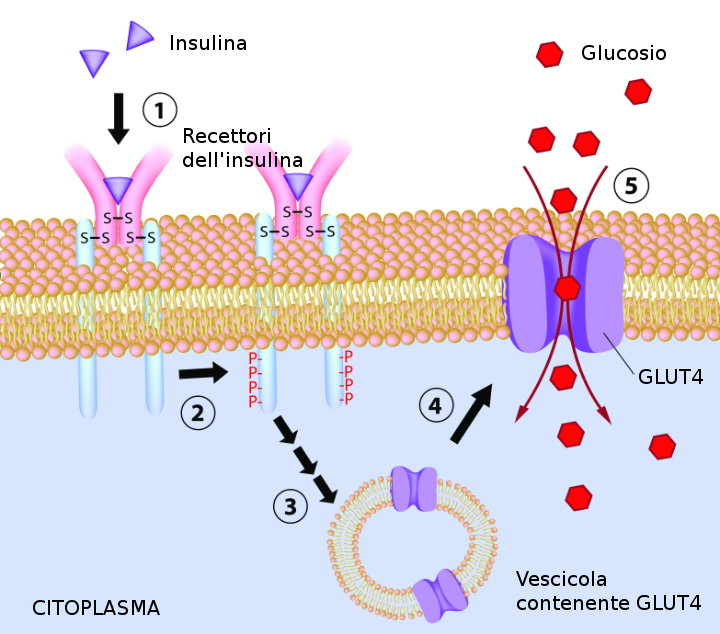 The effect of insulin on glucose absorption