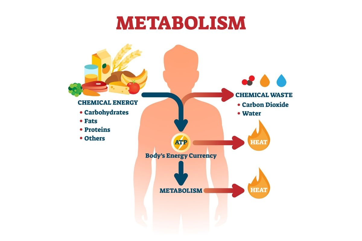 how metabolism works in a nutshell