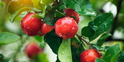 Acerola: natural source of Vitamin C
